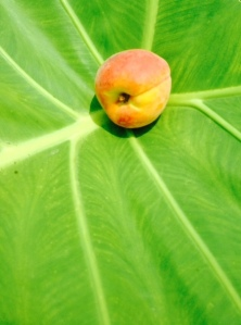 Peach on leaf