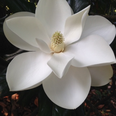 Optimized-magnolia bloom