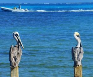 penguin 2 Belize