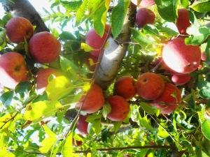 apple-tree-limb