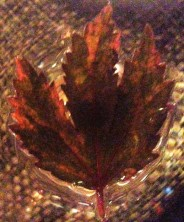 hibiscus-leaf-at-end-1