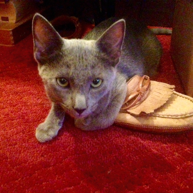 kitty on shoe