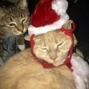Christmas kitty maxine